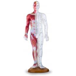 Ihmiskehon akupistemalli 60 cm (myös lihakset)
